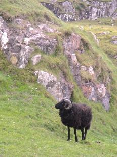 Hebridean Sheep on Coll